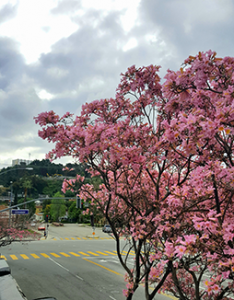 The pink trumpet trees are blooming outside the RESSAC Glendale CA office.